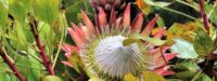 Protea flower, Wollemi National Park, New South Wales, Australia